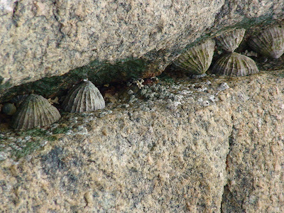 Common limpet (Patella vulgata)