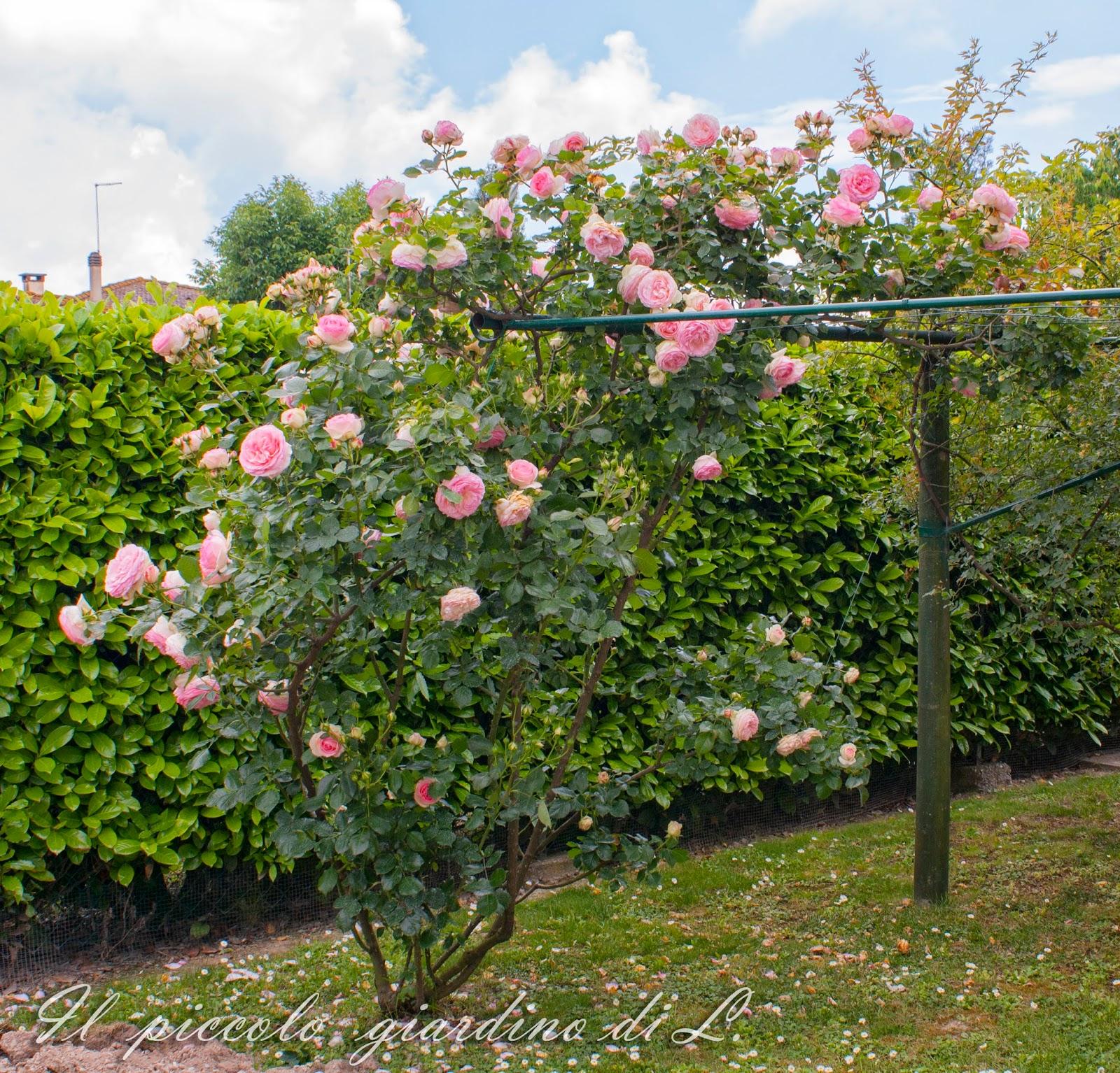 Il piccolo giardino di l la mia sbilenca pierre de ronsard for Pierre de ronsard rosa