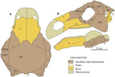 Europelta skull
