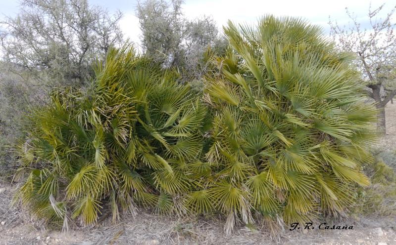 El gallipato alcublano palmito margall palma de escoba chamaerops humilis - Escobas de palma ...