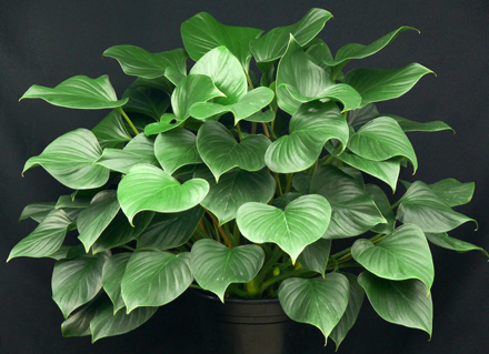 homalomena, beautiful leaf decorative plant
