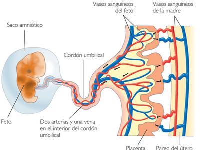 Placenta con algunas calcificaciones