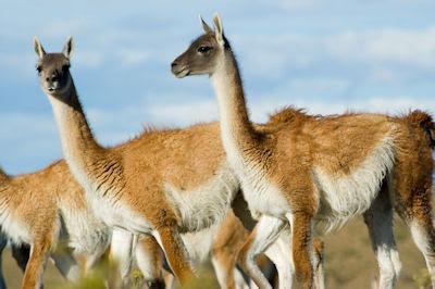 Llamas Guanacoes en las planicies del sur de Argentina
