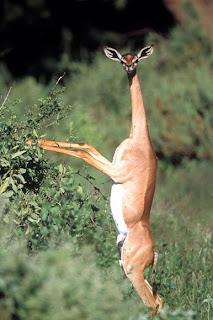 Gerenuk - Hewan Aneh
