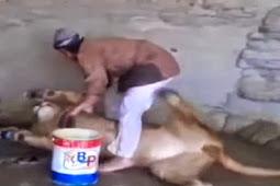 Mengerikan, Pria Ini Berprofesi Memandikan Singa
