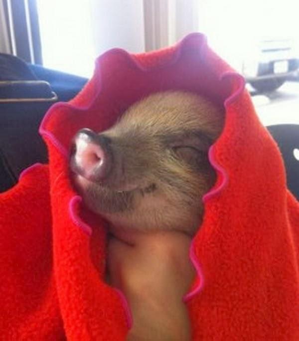 Funny animals of the week - 14 February 2014 (40 pics), little pig wears red blanket