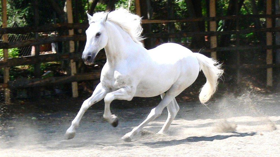 chevaux de coeur cheval blanc. Black Bedroom Furniture Sets. Home Design Ideas