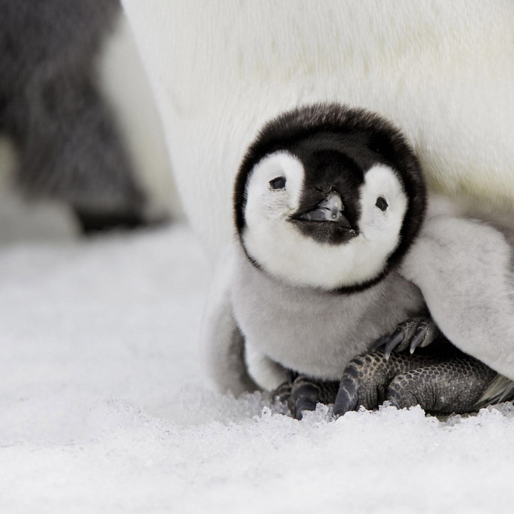 Cute Penguins | Cute M...