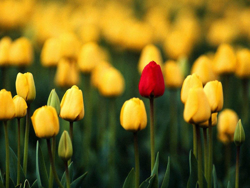 http://1.bp.blogspot.com/-UJAvJvnJPS4/Tmp2uyXj0iI/AAAAAAAAAKY/ooTkdGcNlec/s1600/2011-03-03.05.28.58-37_tulips_beautiful_flowers_desktopwallpaper_l.jpg