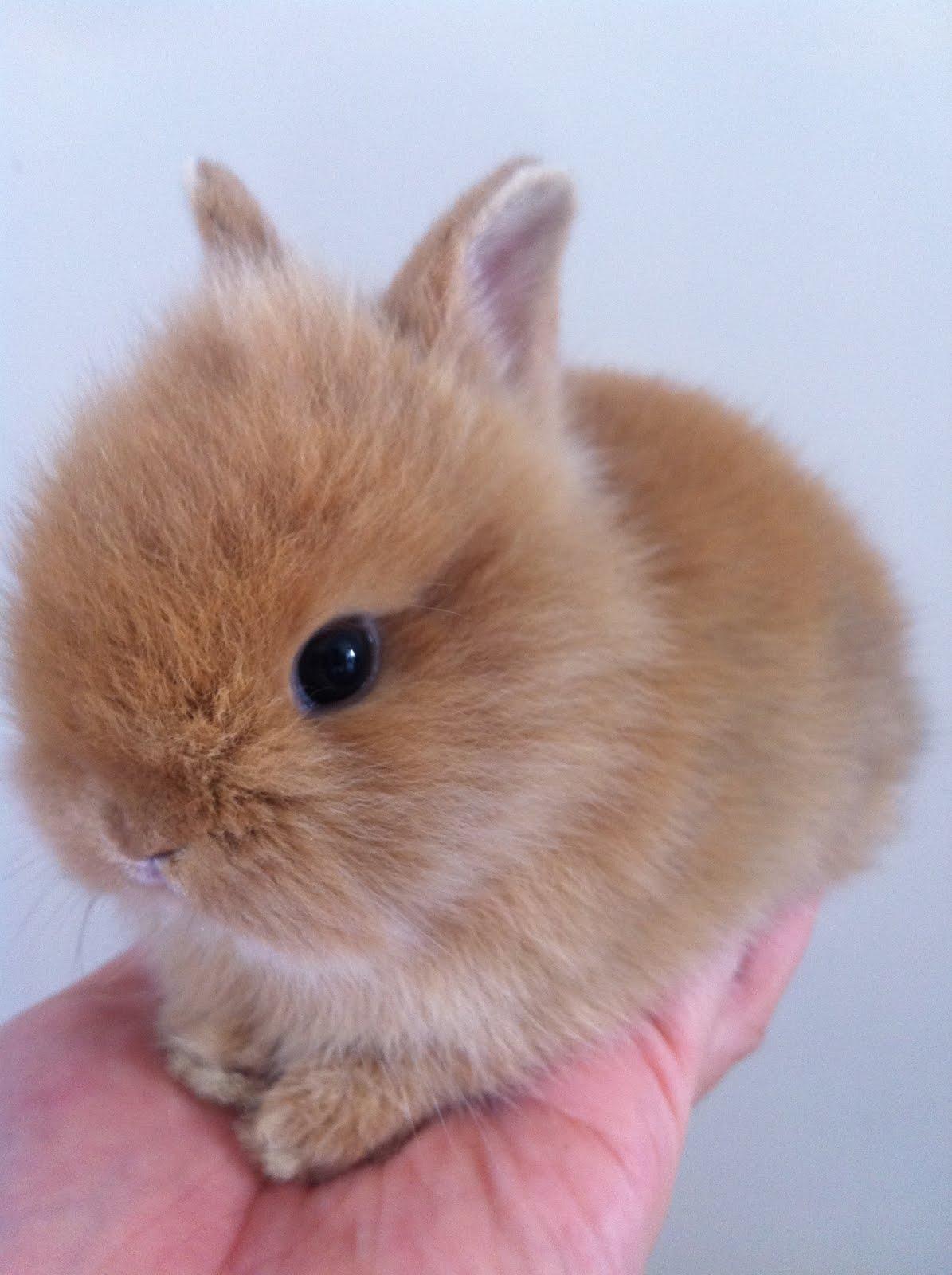 brown dwarf baby rabbits - photo #45