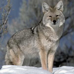 Foto de un lobo