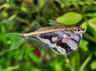 Ikan Hias Marmer Hatchet