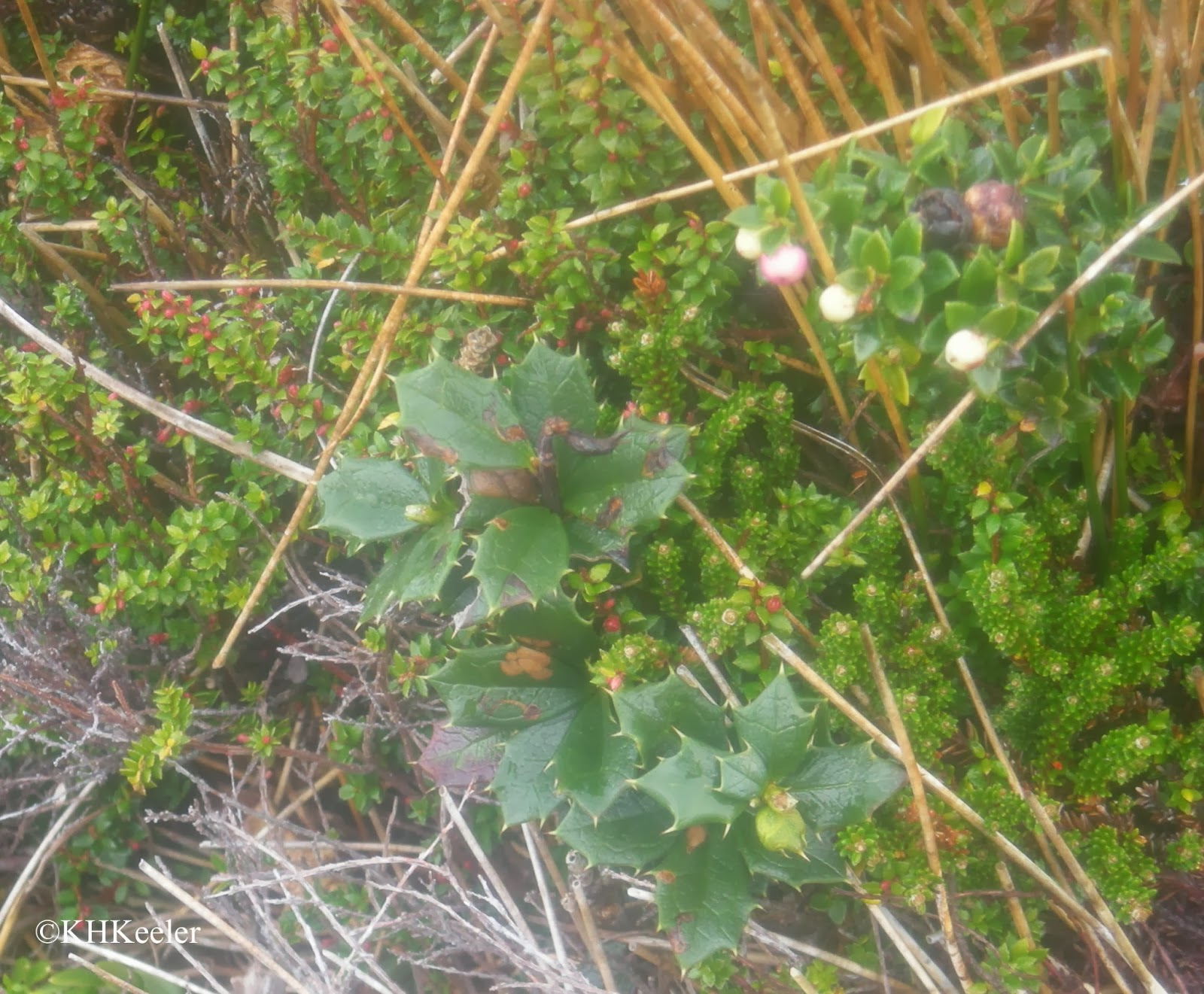 shrubs of Cape Horn