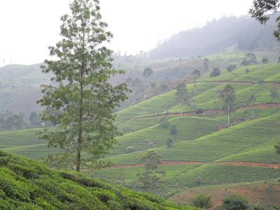 Чайные плантации, Шри-Ланка, центр, горы