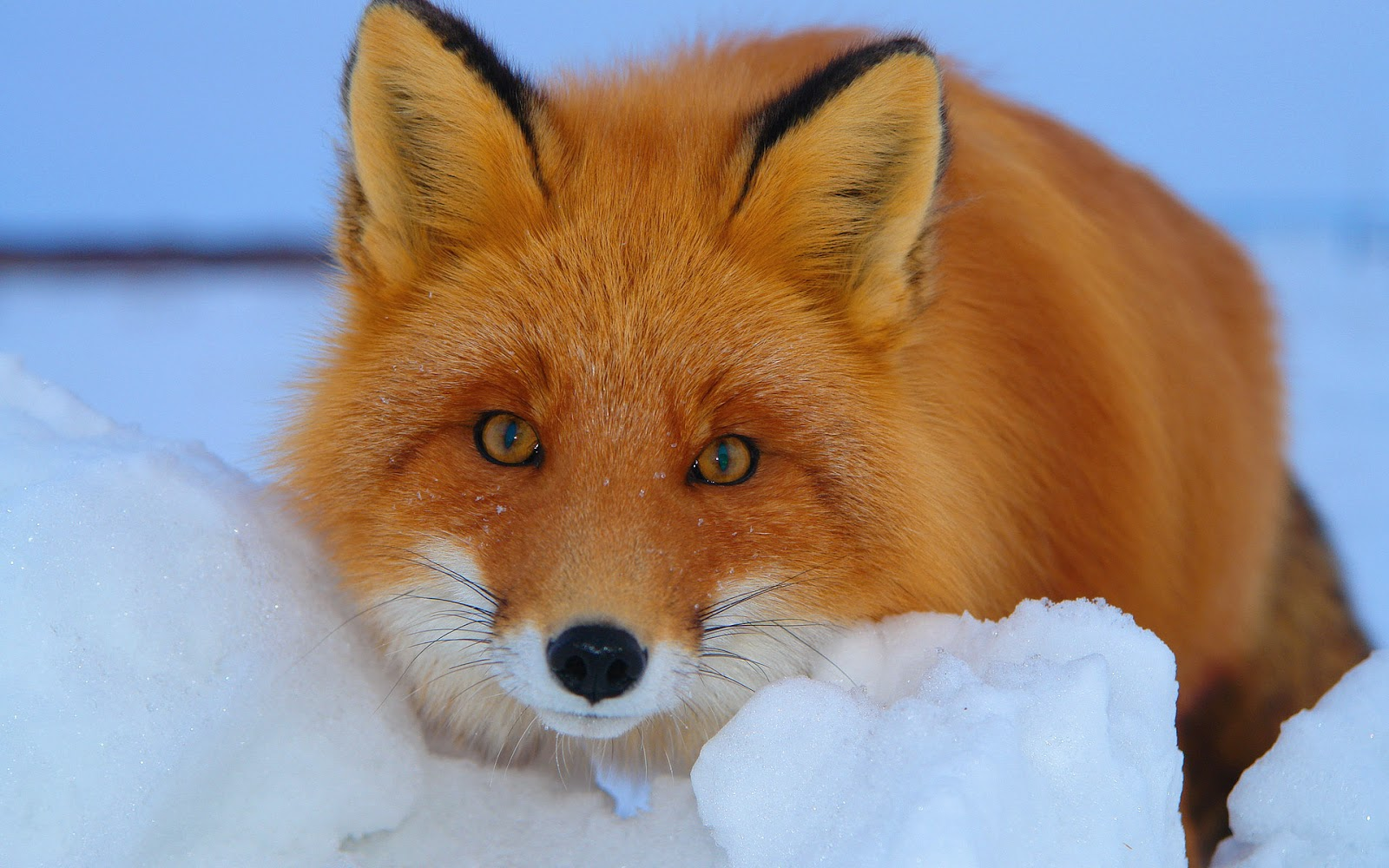 red fox hd wallpapers - photo #27