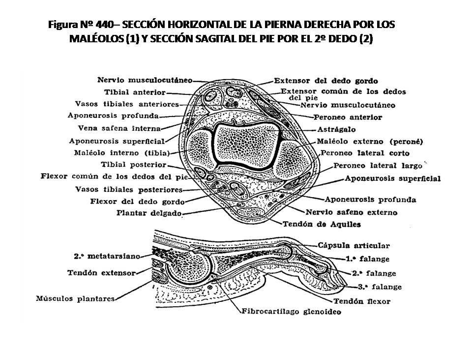 Contemporáneo Anatomía De Los Dedos Del Pie Regalo - Imágenes de ...