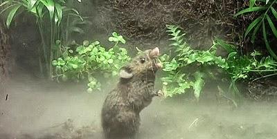 Kenapa tikus menyanyi?