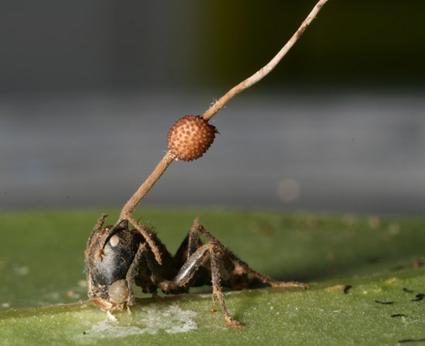 Jamur Ophiocordyceps Unilateralis