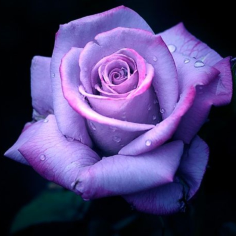 purple rose flowers flower hd wallpapers images