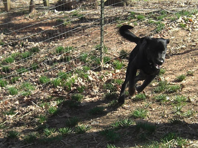 Picture of Rudy turning while running... he looks like a greyhound!