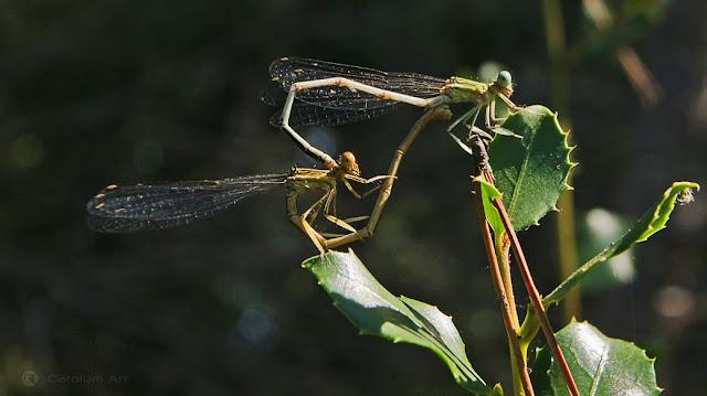 dragonfly-love-macro-fotografia-carolum-art