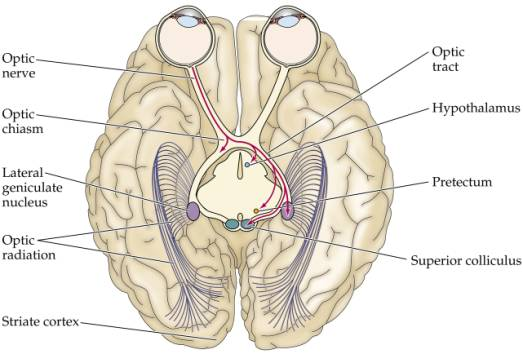The Visual System Pathways To The Brain