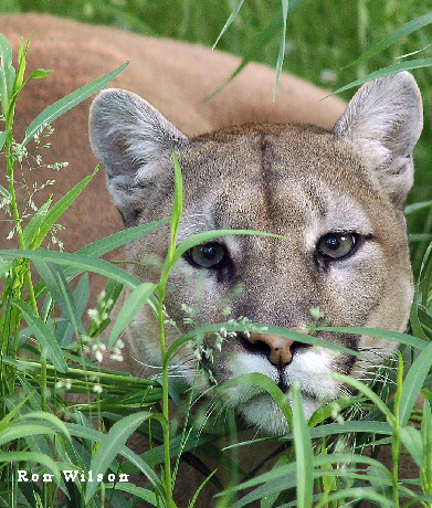 the mountain lion at the farm How many mountain lions are in california any statewide estimate  are  mountain lion numbers increasing or decreasing in california there are  indications.