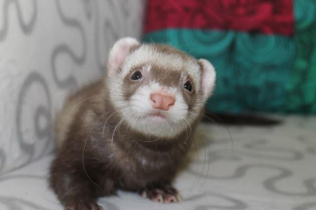 suklaa+fretti+ferret