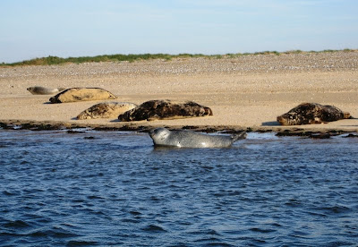 Seals lying in the water and on the sand of Blakeney Point