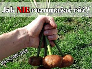 pędy róż umieszczone w ziemniakach