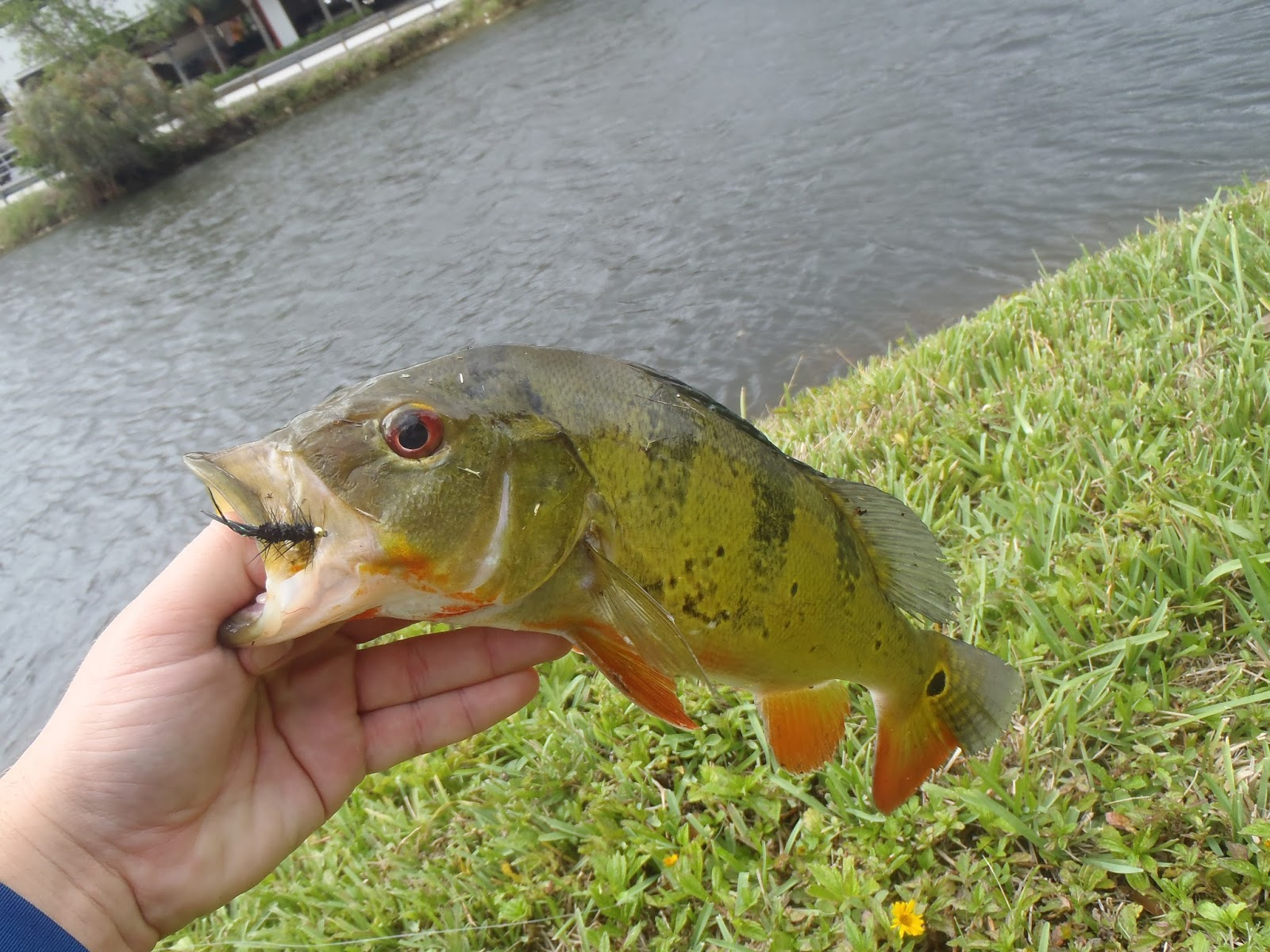 The rogue outdoors fly fishing miami 39 s canals for Florida canal fishing