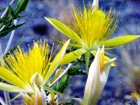 Flors del desert
