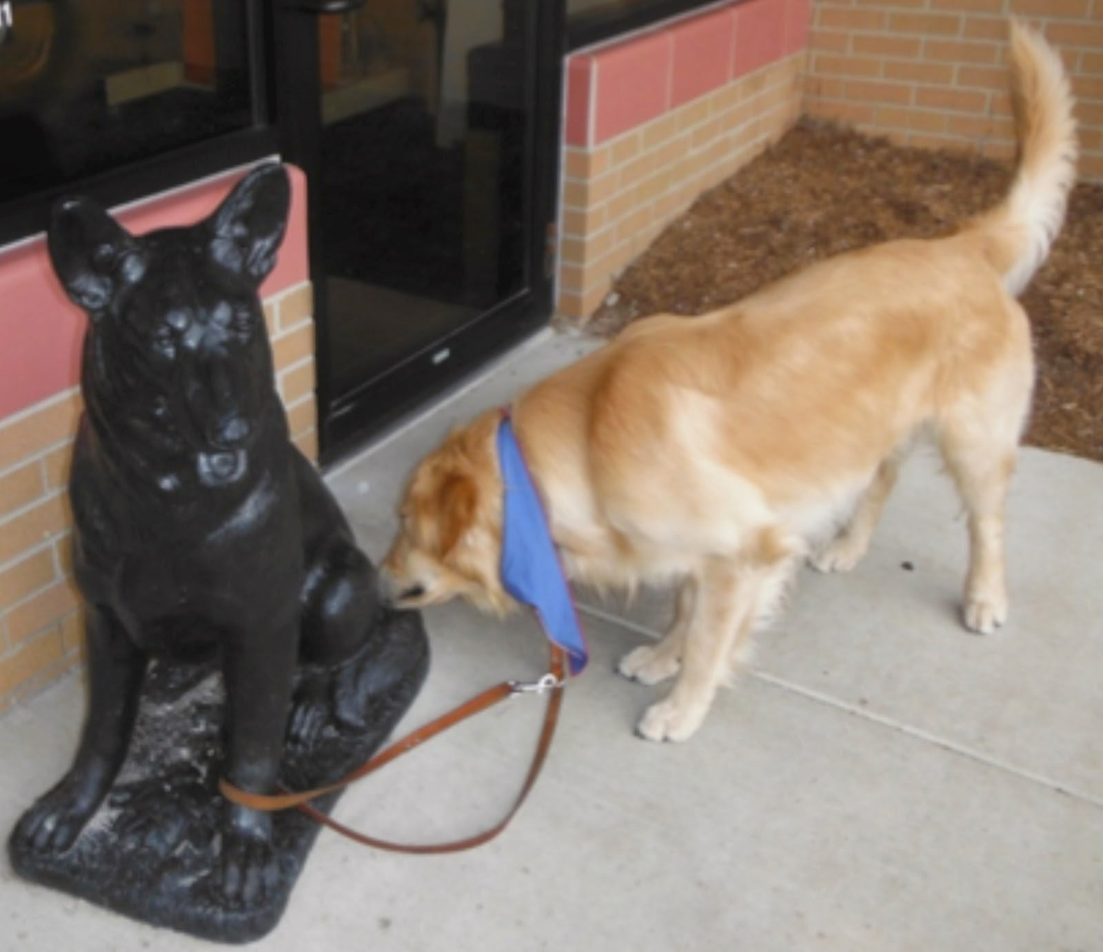 A golden retriever wearing a blue bandana is leashed to a black stature of a sitting german shepherd. The golden is sniffing the rear end of the stature.