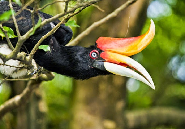 The exotic rhinoceros hornbill is one the species examined for genomic evidence about falls in bird numbers. (Image Credit: AbZahri AbAzizis via Wikimedia Commons) Click to Enlarge.