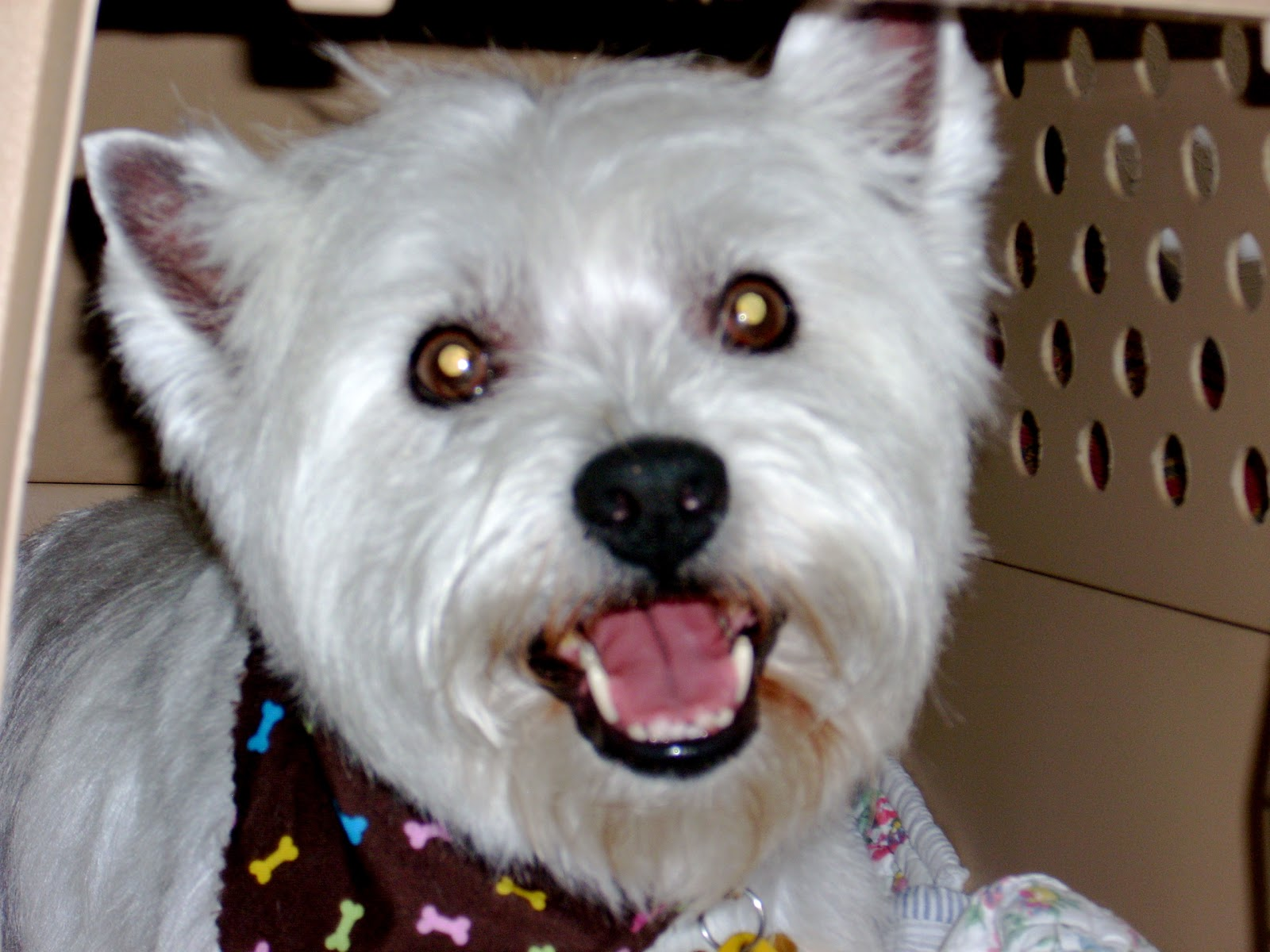 Funny cute westie dogs images pictures 2012 funny animals - Pictures of westie dogs ...