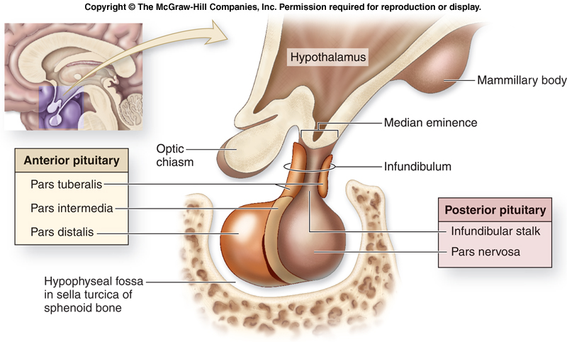 intro to anterior pituitary gland, Sphenoid