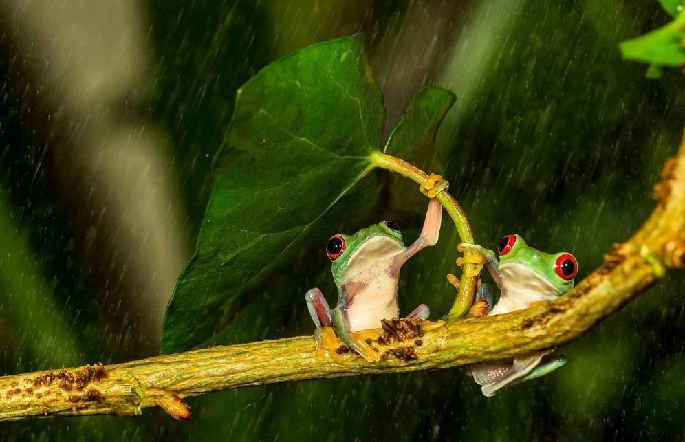 berteduh saat hujan Fotografi Foto Macro Katak dan Fakta Unik Tentang Katak