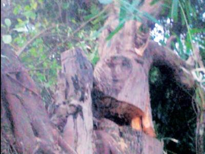 pokok tembesu, gambar, foto, wajah manusia pada pokok, aneh, pelik, tidak baik, berwajah manusia, sinar harian, subhanallah, berita pelik dan aneh, batang pokok