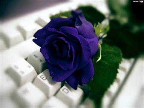 Dark Blue rose