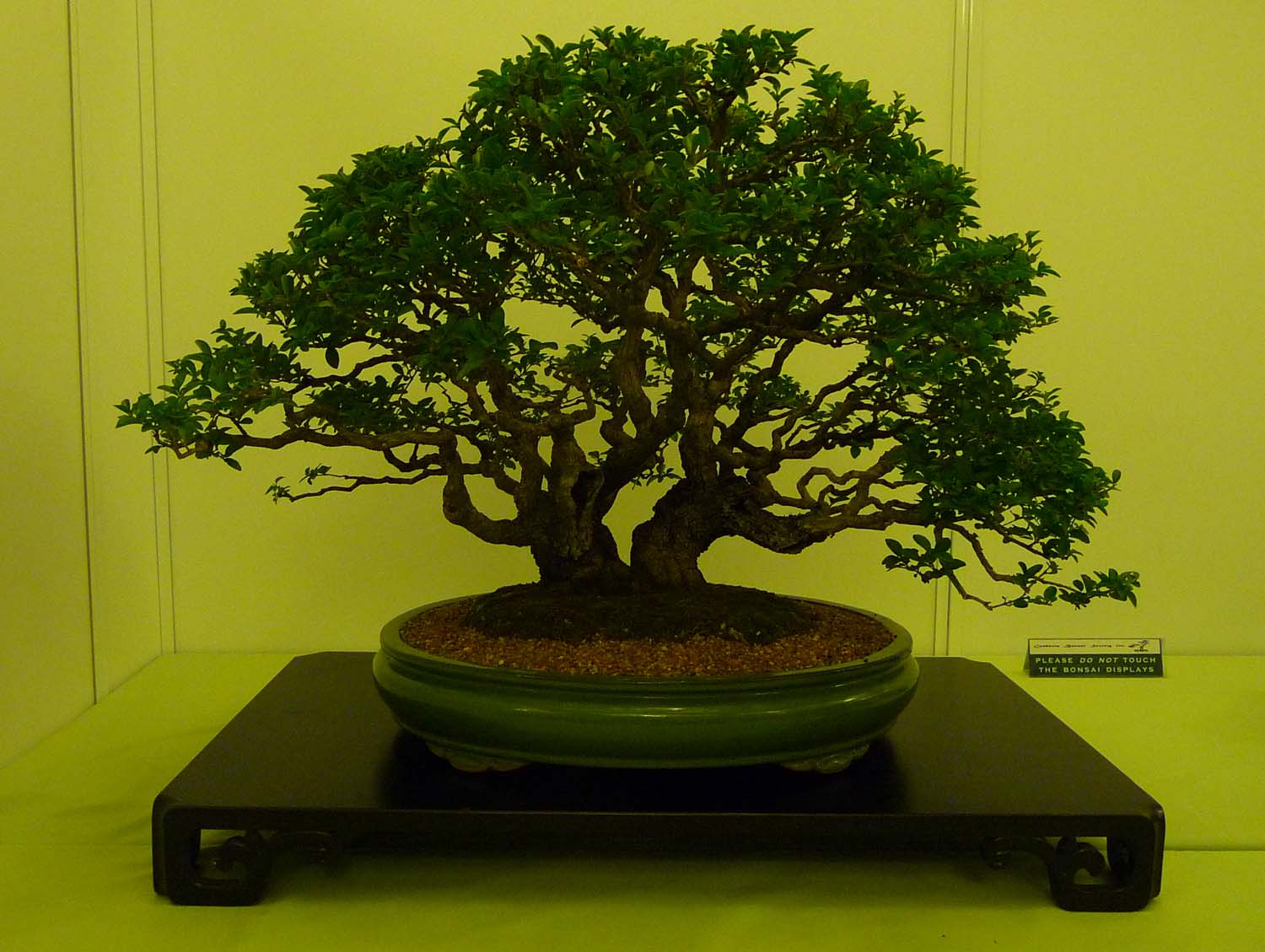 Bonsai Amp Pottery May 2013