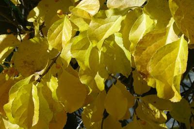 Autumn_oriental_bittersweet_celastrus_orbiculatus_leaves_by_garden_muses:_a_Toronto_gardening_blog