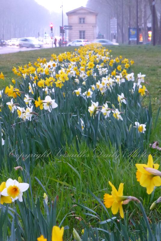 Jonquilles Daffodils Versailles