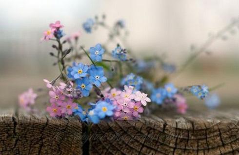 Fotos De Flores No Me Olvides - ¿Las no me olvides son perennes? eHow en Español