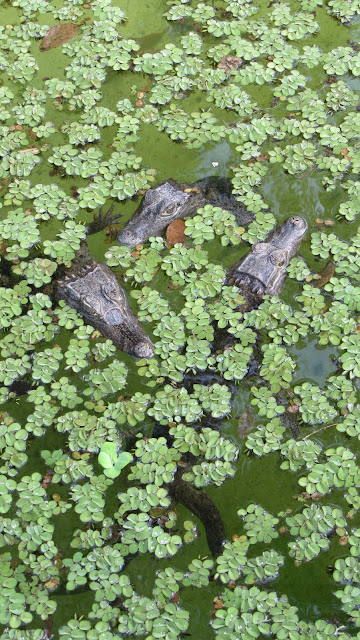 Trio of Baby Caimans