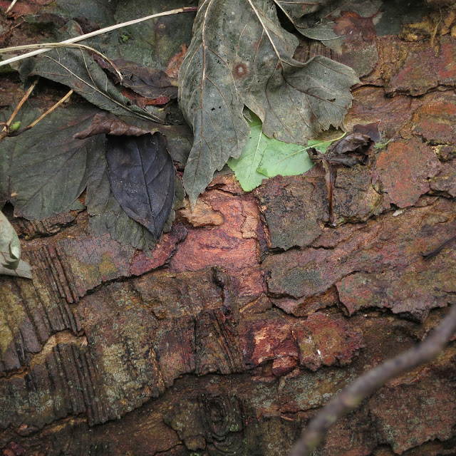 Dark Green and Brown Leaves Flattened by Rain on a Log with Red-Tinged Bark.