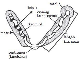 Pengertian Gen dan Kromosom, Struktur dan Fungsinya