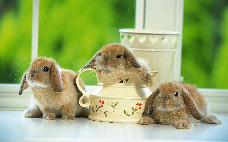 leuke foto met drie wollige bruine konijnen met lange oren