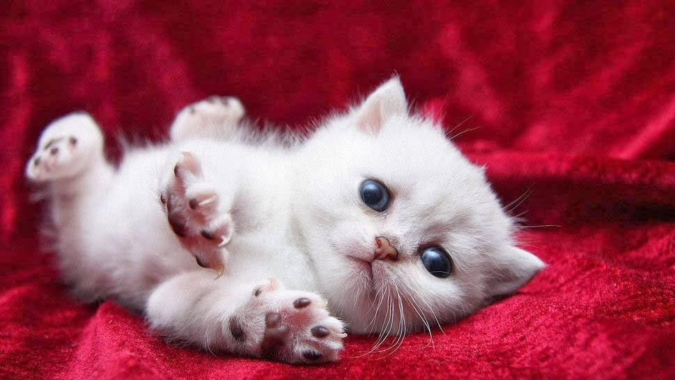 little-white-cat-wallpaper