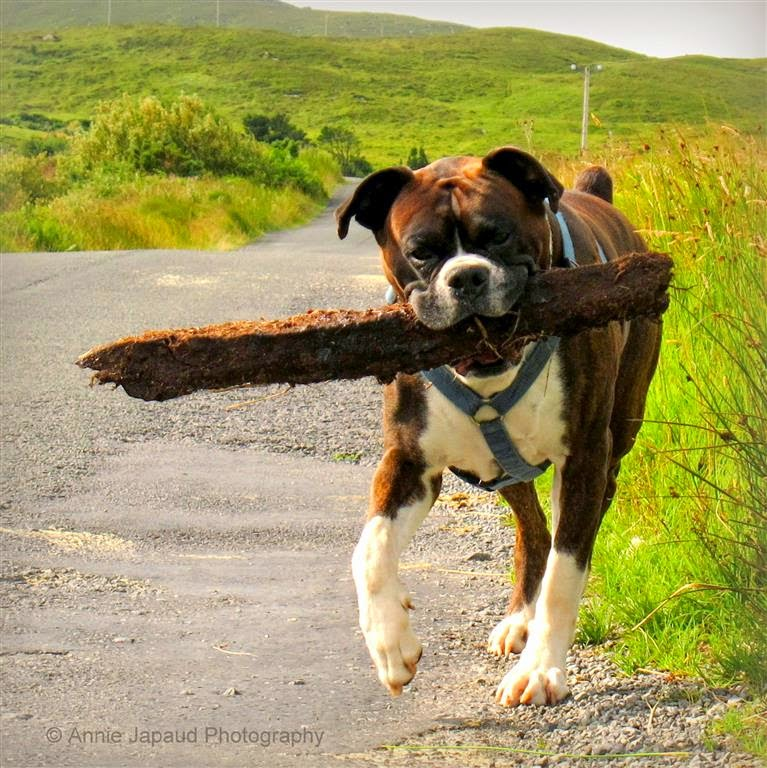boxer dog walking