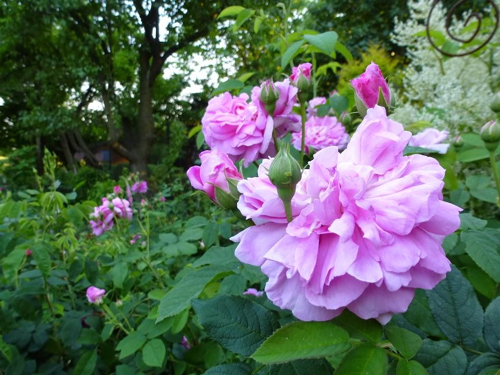 gartengl ck im wandelgarten top pflanzen 2 rosen. Black Bedroom Furniture Sets. Home Design Ideas